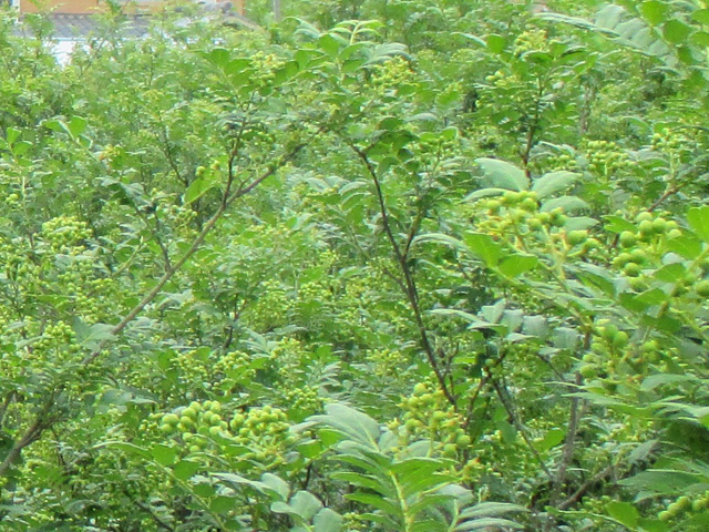 山椒収穫20170516*IMG_3293low