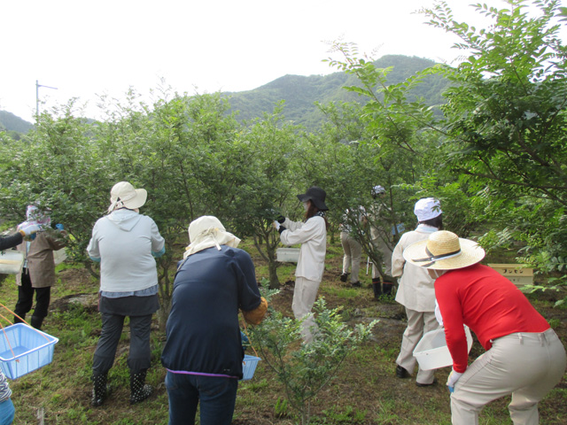 山椒収穫20170516*IMG_3288low