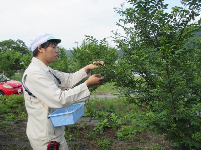 山椒収穫20170516*IMG_3287low