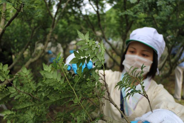 山椒収穫20170516*IMG_4318low
